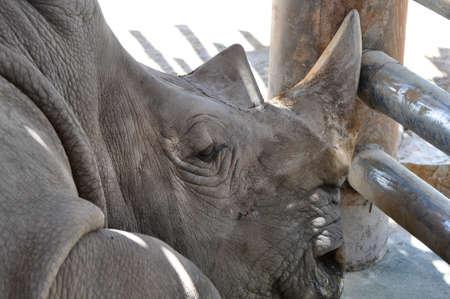 Sleeping Rhino in a zoo photo
