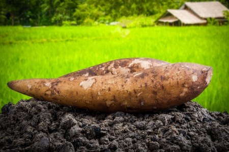 yacon: Fresh yacon root on the loose soil Stock Photo