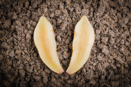 yacon: Fresh cut off yacon root 2 pieces on the black loose soil Stock Photo