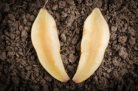 yacon: Fresh cut off yacon root 2 pieces on the black soil Stock Photo