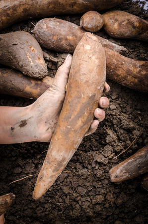 yacon: Hand handle fresh yacon root on the loose soil Stock Photo