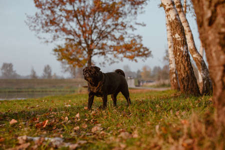 Black pug lit up by evening sun, during a walk in the park. She`s standing on a green grass with autumn leaves, with blurred trees in the background. The photo was taken at golden hour, just behind the birch trees.