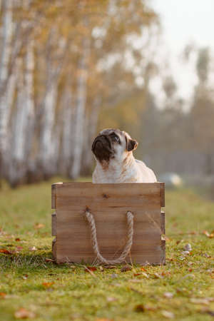 Cute little pug puppy, sitting in a wooden box, during a walk in the park. The grass is green and there are some autumn leaves laying on it. The puppy is focused and is looking up. The day is sunny and warm, with beautiful weather, just before golden hour.