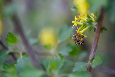bee on flower: Bee pollinating a currants flower Stock Photo