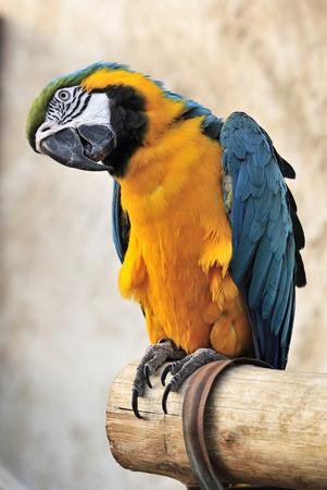 ararauna: Blue and yellow macaw (Ara ararauna) at bird souq in Doha, Qatar.