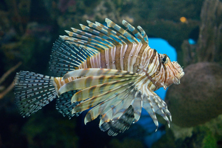 Pterois fish, also known as lionfish.