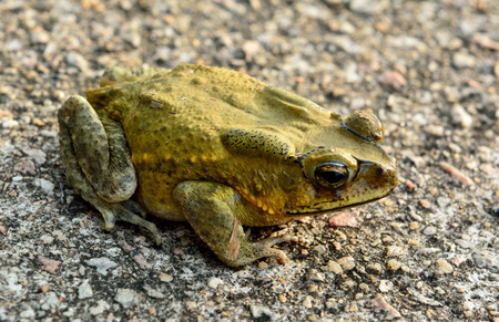 Asian toad (Duttaphryns melanostictus) is widely distributed in South and Southeast Asia. Stock Photo