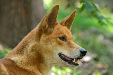 Portrait of Dingo dog (Lupus Dingo) in Australia.