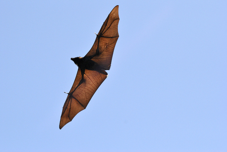 Black flying fox (Pteropus alecto) with spread wings in the air in Queensland, Australia.