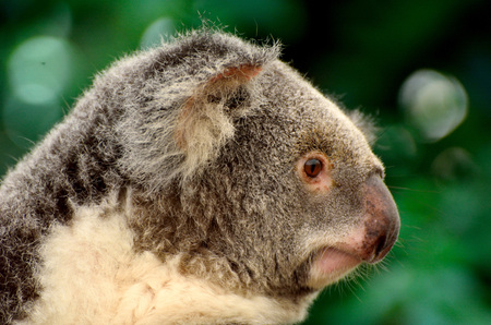 Portrait of koala in Queensland, Australia.