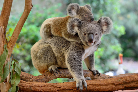 Mother koala with baby on her back, on eucalyptus tree. Stockfoto