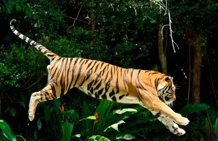 Tijger die (Panthera Tigris) een sprong uitvoert.