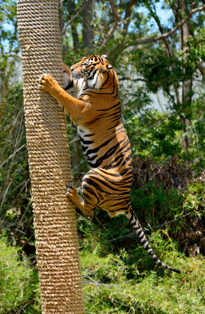 Tiger (Panthera tigris) climbing a tree. 스톡 콘텐츠