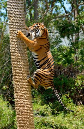 Tiger (Panthera tigris) climbing a tree. Foto de archivo