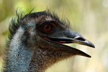 Head of emu bird (Dromaius novaehollandiae), the second-largest living bird by height. Stock Photo