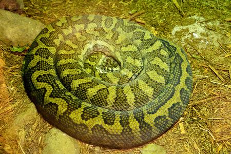 Scrub python (Morelia kinghorni) is the largest snake found in Australia. Stock Photo