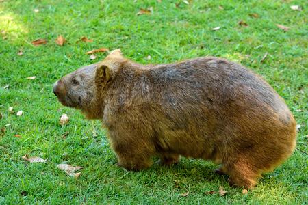Wombat on green grass in Australia.