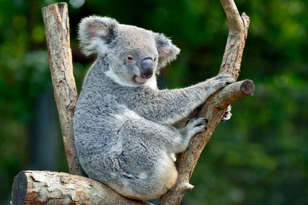 Koala on eucalyptus tree in Queensland, Australia.