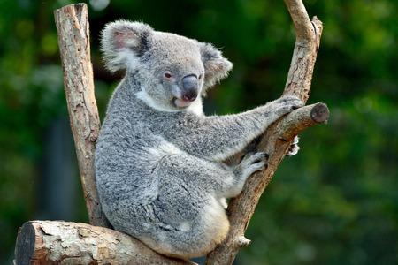 Koala on eucalyptus tree in Queensland, Australia.