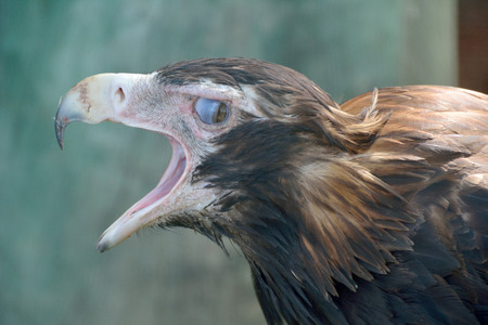 Wedge-tailed Eagle (Aquila audax) is the largest bird of prey in Australia, beak open.