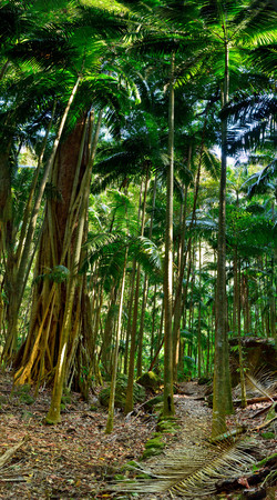 Tropical forest in Lamington National Park, Queensland, Australia.