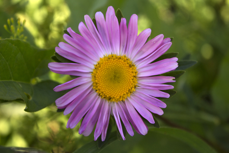 insipid: Pink chrysanthemum flower. Photo. Stock Photo