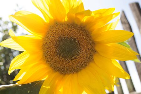 insipid: Yellow sunflower. Photo.