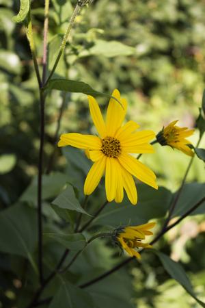 insipid: Yellow wildflowers. Photo.