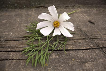 insipid: White daisy in a garden. Photo.