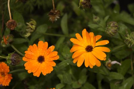 insipid: Orange flower calendula. Photo.