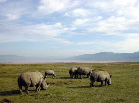 nakuru:  Rhinoceros or rhinos in Lake Nakuru National Park