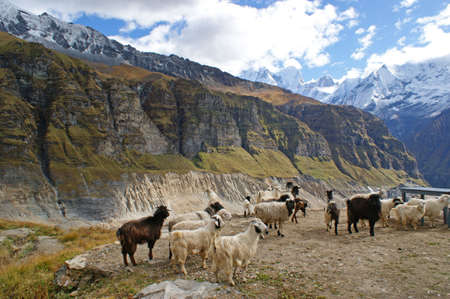 Goats in front on the Annapurna Range in Nepal photo