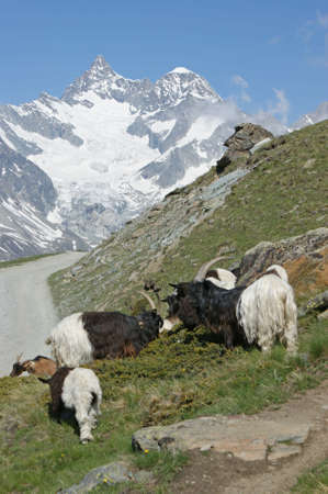Goats in the mountains close to Matterhorn in the Swiss alps Stock Photo - 7343898
