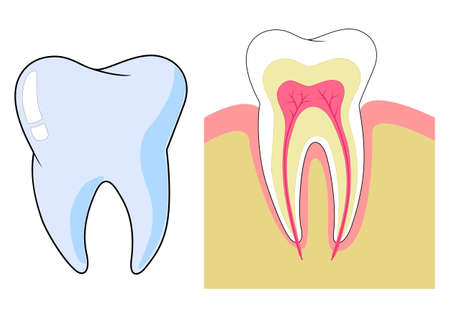 Anatomical illustration of a tooth Illustration