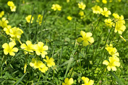 yellow oxalis in the meadow photo