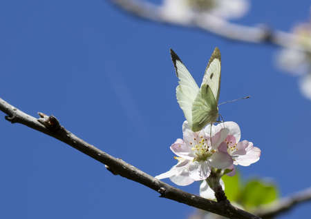 white butterfly on an apple flower photo