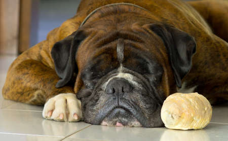 foreleg: dog sleeping close to his breadroll Stock Photo