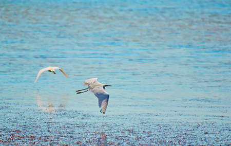 two egrets flying away over a pond photo