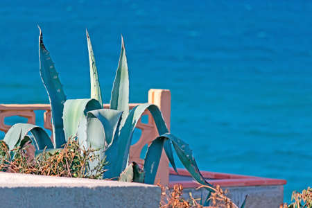 detail of agaves in a flowerbed by the sea photo