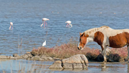 beast ranch: brown and white horse in a pond with pink flamingos on the background Stock Photo