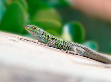 lizard in field: Primer plano de un lagarto en una pared