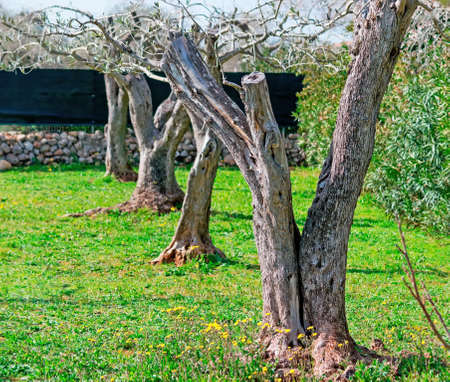 springy: row of olive trees in a springy field