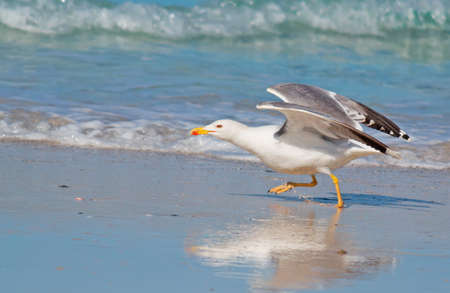 foreshore: seagull running on the foreshore