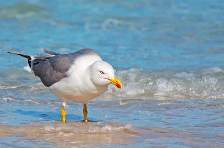 foreshore: seagull with wet beak on the foreshore