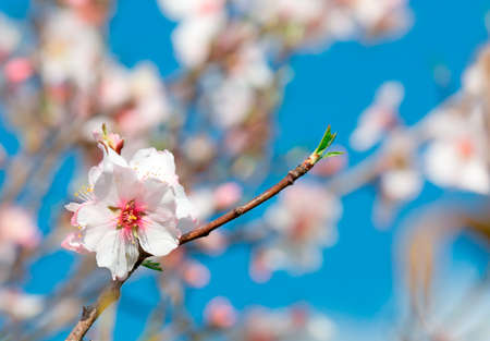 arise: almond flower on the branch