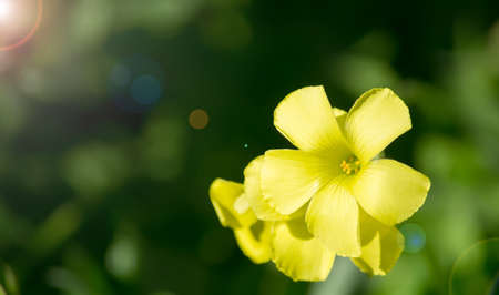 pes caprae: oxalis pes-caprae under the sun in spring Stock Photo