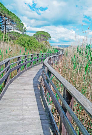 wooden boardwalk surrounded by high reeds photo