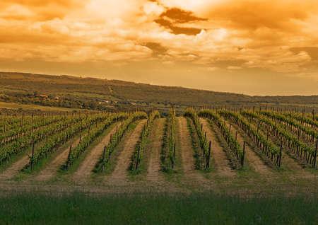 groene wijngaard onder een bewolkte hemel bij zonsondergang Stockfoto