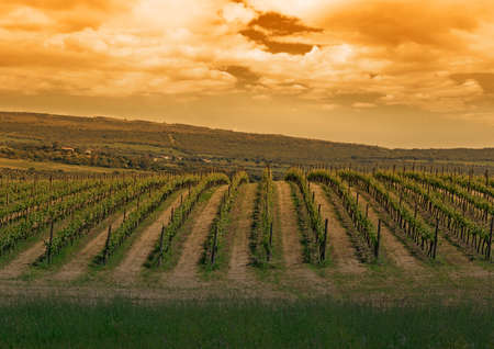 green vineyard under a cloudy sky at sunset