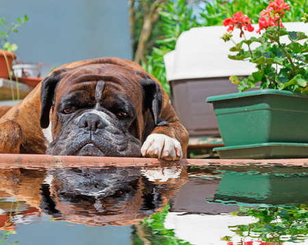 boxer reflected in the water Stock Photo